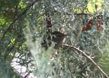 Sinaloa Wren