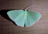 7035 - Nemoria darwiniata; Columbian Emerald