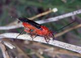 Braconinae Braconid Wasp species