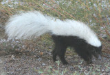 Common Hog-nosed Skunk