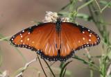 Danaus gilippus; Queen; male