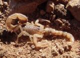 Vaejovis spinigerus; Arizona Stripedtail Scorpions