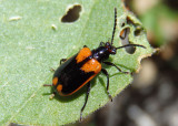 Lema trabeata; Leaf Beetle species