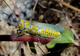 Poecilotettix pantherinus; Panther-spotted Grasshopper