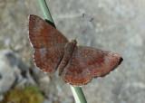 Calephelis arizonensis; Arizona Metalmark; male