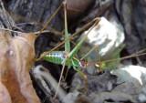 Dichopetala brevihastata; Common Short-wing Katydid; male