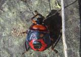 Asopinae Predatory Stink Bug species nymph
