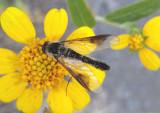 Thevenetimyia speciosa; Bee Fly species