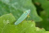 Hordnia atropunctata; Blue-green Sharpshooter