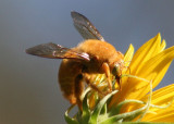 Xylocopa varipuncta; Valley Carpenter Bee; male