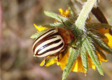 Zygogramma continua; Leaf Beetle species