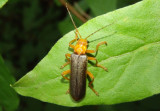 Cantharis rotundicollis; Soldier Beetle species