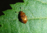 Epuraea Sap-feeding Beetle species