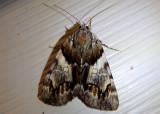 8867 - Catocala blandula; Charming Underwing