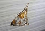 4896 - Chalcoela pegasalis; Pegasus Chalcoela Moth