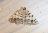 6348 - Macaria fissinotata; Hemlock Angle
