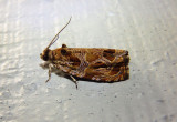 2795 - Olethreutes tilianum; Basswood Olethreutes Moth