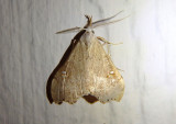 8401 - Redectis vitrea; White-spotted Redectis
