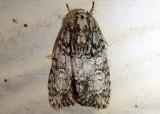 9251 - Acronicta retardata; Dagger Moth species