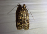 1065 - Martyringa latipennis; Concealer Moth species