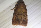 10585 - Orthodes majuscula; Rustic Quaker