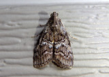 5606 - Pococera asperatella; Maple Webworm Moth