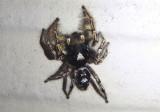 Phidippus putnami; Jumping Spider species; male