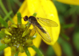 Empidigeron Bee Fly species