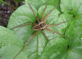 Dolomedes vittatus; Fishing Spider species