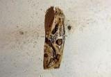 3754 - Aethes angulatana; Angular Aethes