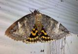 8719 - Euparthenos nubilis; Locust Underwing