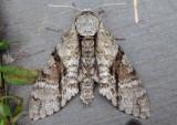 7783 - Manduca jasminearum; Ash Sphinx