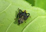 Jikradia olitoria; Leafhopper species nymph