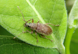 Cyrtepistomus castaneus; Asiatic Oak Weevil; exotic