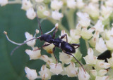 Euderces picipes; Longhorned Beetle species