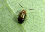Lupraea picta; Flea Beetle species