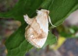 4659 - Packardia geminata; Jeweled Tailed Slug Moth