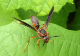 Polistes fuscatus; Northern Paper Wasp