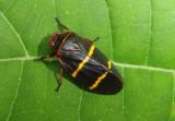 Prosapia bicincta; Two-lined Spittlebug