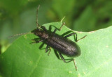Arthromacra aenea; Darkling Beetle species