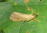 8114-8125 - Virbia Tiger Moth species