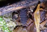 Morulina Springtail species
