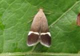 2230 - Anacampsis agrimoniella; Twirler Moth species