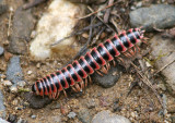 Sigmoria Flat-backed Millipede species