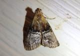 5608 - Pococera expandens; Double-humped Pococera Moth