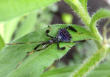 Acanthocephala terminalis; Leaf-footed Bug species nymph