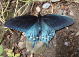 Battus philenor; Pipevine Swallowtail; male