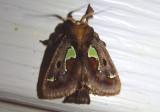 4697 - Euclea delphinii; Spiny Oak-Slug Moth