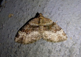 7390 - Xanthorhoe lacustrata; Toothed Brown Carpet