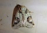 10414 - Lacinipolia implicata; Implicit Arches Moth